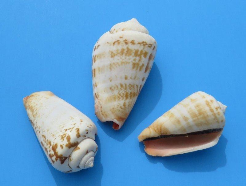 Strawberry Cow Seashell