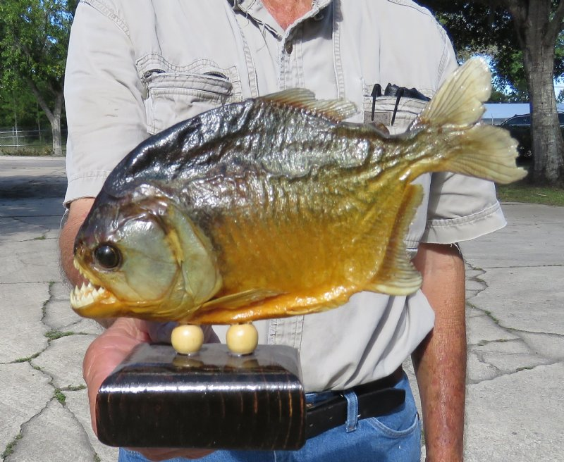 7-3/4 inches taxidermy piranha fish for sale, mounted on wood base - you  are buying this one for $42 99