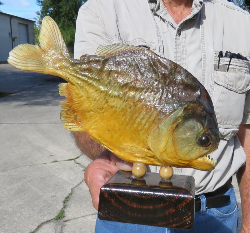 7-3/4 inches long mounted piranha fish for sale on wooden base - you are  buying this one for $42 99