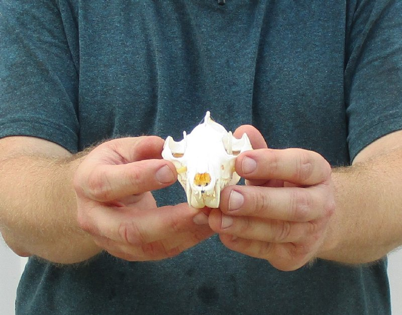 Real Opossum Skull for Sale, 4-1/2 inches long