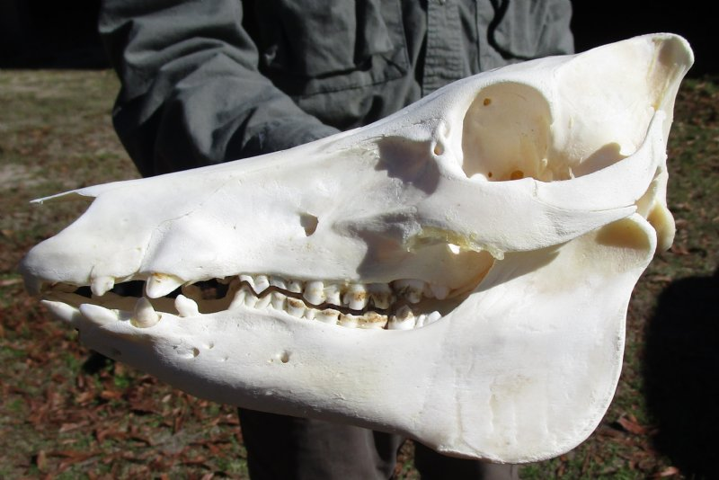 9-1/2 inches Real Wild Hog Skull, Wild Boar Skull