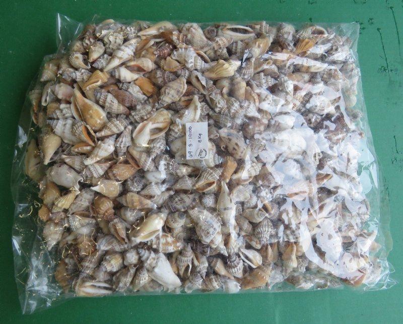 425 Pounds 2 Kilos Small Brown Chulla Strombus Conch Shells A Bulk Bag
