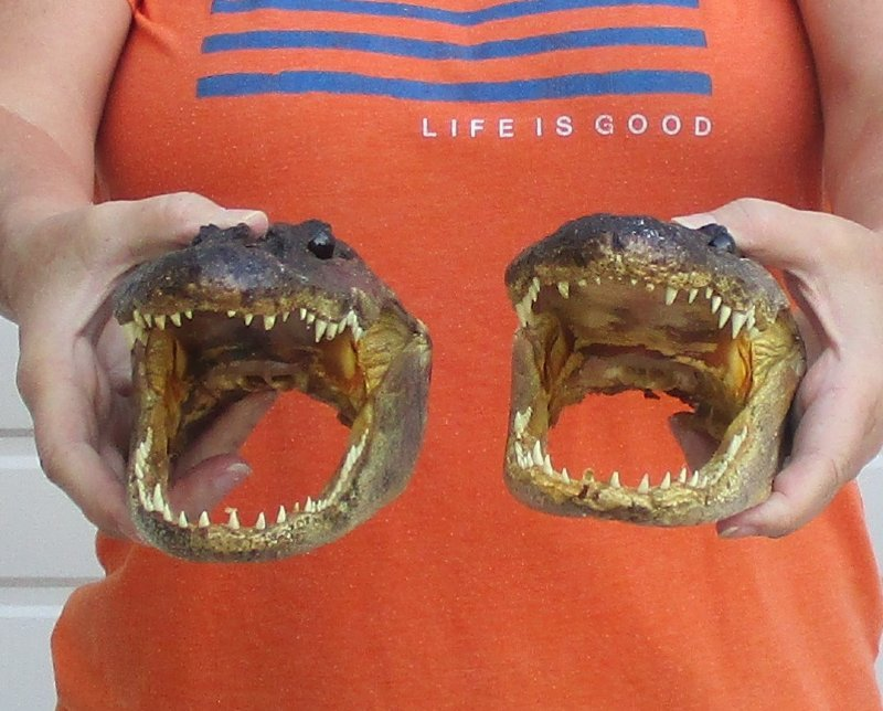 8 to 8-1/2 inches Real Alligator Head for Sale from a 5 foot gators -$16 50  each - You will receive heads that look similar to those pictured