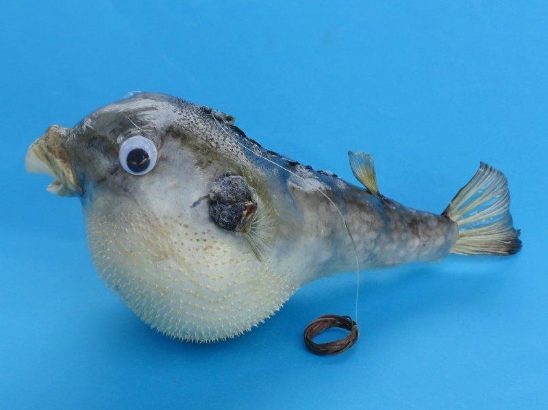 1 pcs Dried Puffer Porcupine Real Fish Blowfish Free Shipping