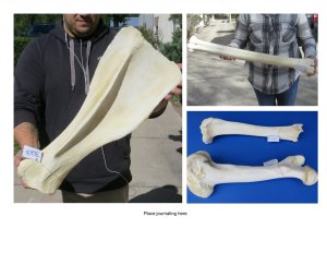 Real Giraffe Bones For Sale For Bone Carving At Worldwide Wildlife Products
