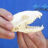 Real Raccoon Skulls for Sale 4-1/2 inches up to 5 inches