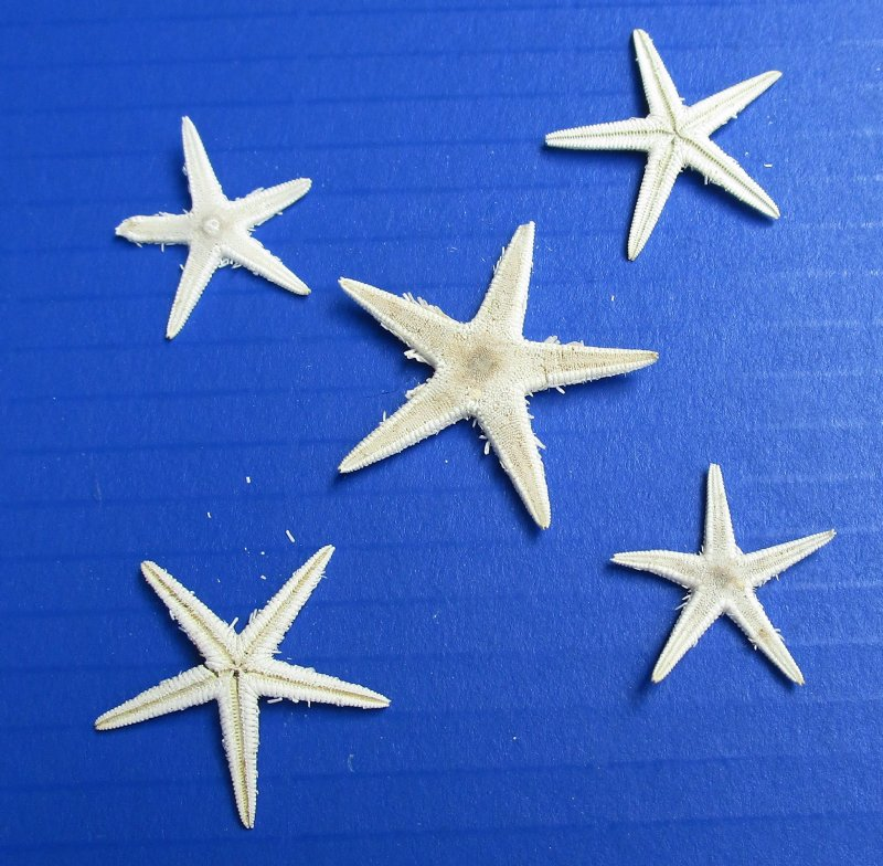 1 to 2 inches Wholesale White Flat Starfish for Sale .04 each