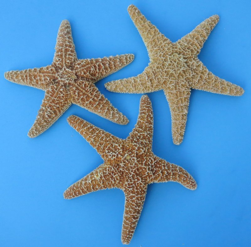 10 to 11-3/4 inches Extra Large Sugar Starfish for Sale ...