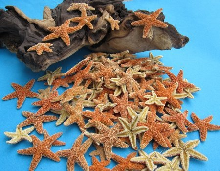 3/4 inch to 2 inches Small Sugar Starfish for Sale in Bulk