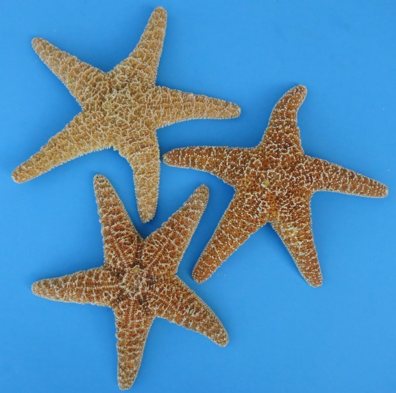 8 to 9-3/4 inches Large Real Sugar Starfish for Sale