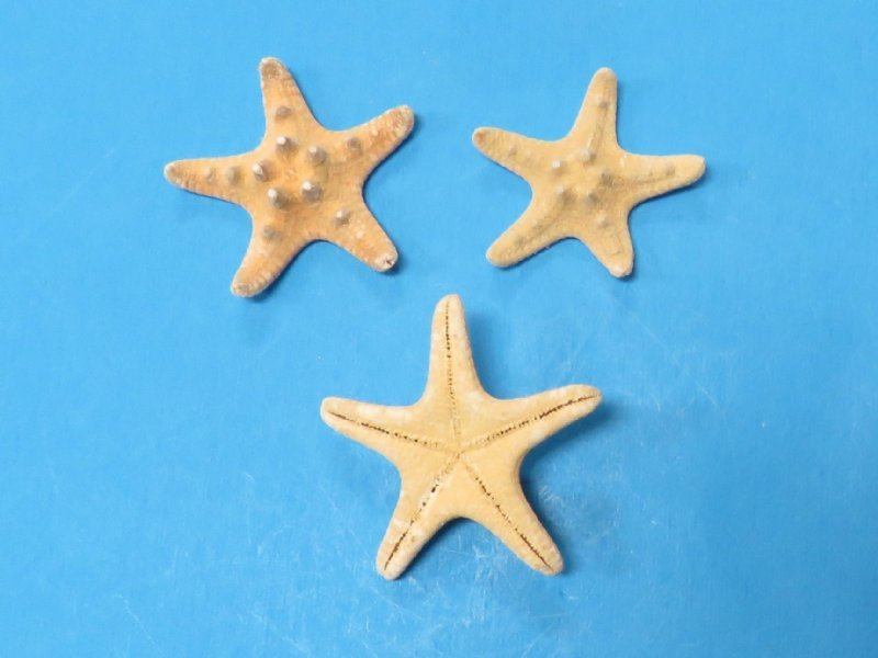 1 to 2 inch Wholesale Small Knobby Starfish for Sale,Case ...