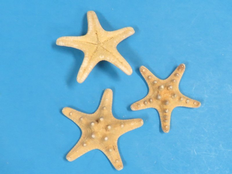 1000 Wholesale Knobby Starfish for Sale for discount price ...